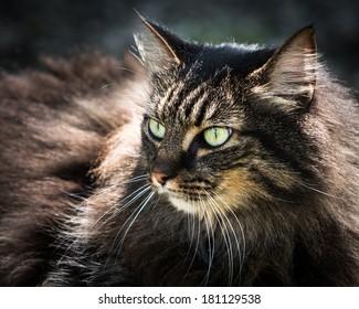 American Longhair cat lying in the sun