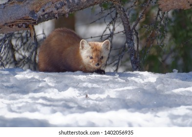 American Marten (Martes americana) AKA American Pine Marten crouched in the snow. Photographed at Algonquin Provincial Park, Ontario, Canada