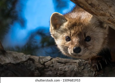 American Marten - Martes americana, peeking between two branches of a pine tree.  Bokeh of branches and sky in the background.