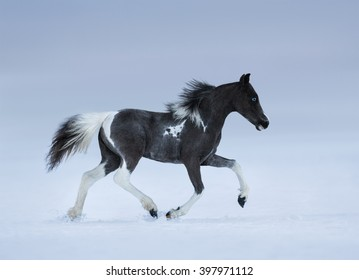 American miniature horse. Blue-eyed foal trotting on snow field.