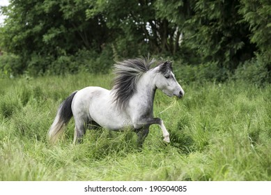 American miniature horse mare trots in a field of grass