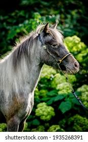 American Miniature Horse in nature