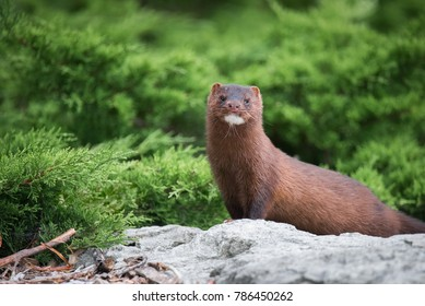 An American Mink along the waterfront at Toronto, Ontario's Colonel Samuel Smith Park.