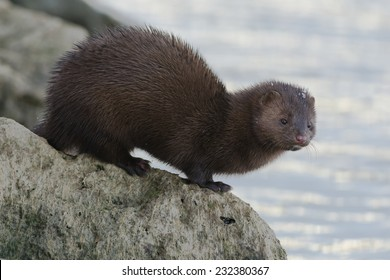 American Mink checking out the water before taking a swim. Humber Bay Park, Toronto, Ontario, Canada.