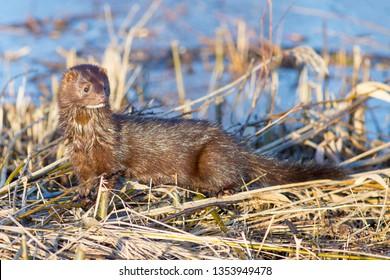american mink invasive species in Europe