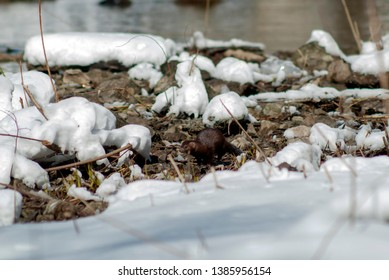 American mink (lat. Neovison vison) is looking for food on the banks of the river. The river bank is covered with snow. Spring 2019, Russian Federation, Sverdlovsk Region.