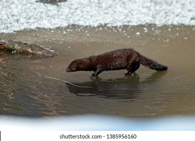 American mink (lat. Neovison vison) is looking for food on the banks of the river. The water in the river is covered with ice. Spring 2019, Russian Federation, Sverdlovsk Region.