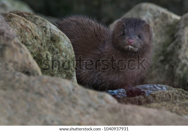 American Mink looking out from the rocks. Humber Bay Park, Toronto, Ontario, Canada.