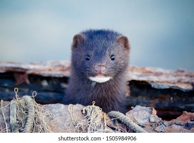 American Mink looking staright into my lens in a port