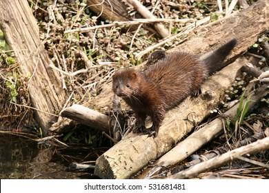 American Mink (Mustela vison) standing on the log.