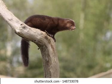 American mink, Mustela vison, sussex, spring