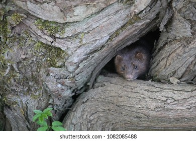 American mink (Neovison vison) in a burrow in natural habitat. Belarus, the outskirts of Minsk