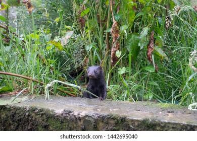 American mink, Neovison vison, Male mink sat on wall,  Devon, June