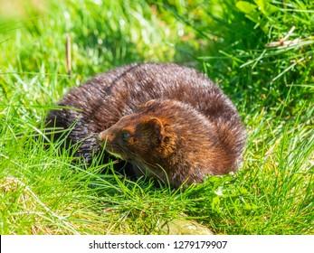 American mink (Neovison vison) on grass bank