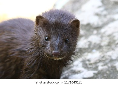 American mink (Neovison vison) small beast  lives in forested areas that are near rivers, streams, lakes, ponds and marshes.