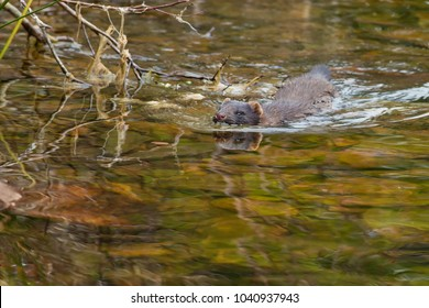 American Mink swimming in the shallow water.  Bidgood Park, Goulds, Newfoundland, Canada.