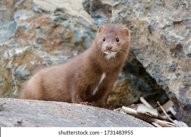 American mink takes a look around as it hunts along the rocky shore at Clover Point, Vancouver Island, British Columbia