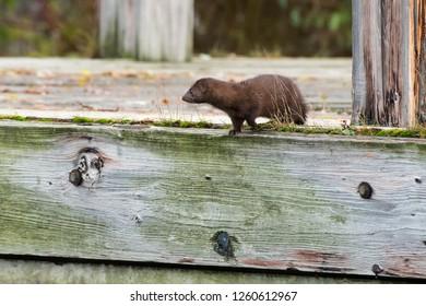 American Mink walking along a wooden dock. Humber Bay Park, Toronto, Ontario, Canada.