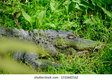 American alligator (Alligator mississippiensis), sometimes referred to colloquially as a gator or common alligator, is a large crocodilian reptile endemic to the Southeastern United States.