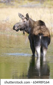 American Moose in lake with water dripping