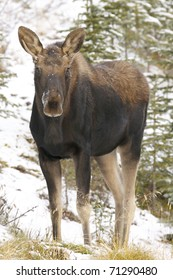 American Moose in snow with white frost on trees