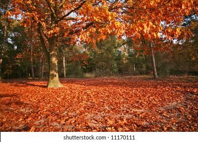 American oak in autumn colors