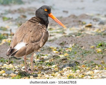 American Oystercatcher in Bay