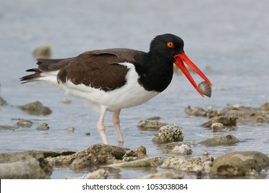 American Oystercatcher (Haematopus palliatus) with a shell in its beak - Bonaire, Netherlands Antilles