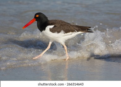 An American Oystercatcher running along the shoreline in central Florida