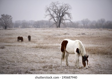 American Paint / Pinto Horse�