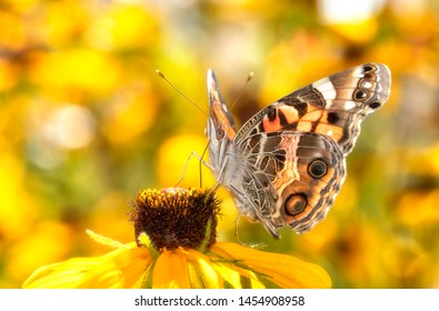 American Painted Lady butterfly feeding on a Black-eyed Susan flower, with bright yellow floral background