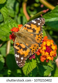 American Painted Lady Butterfly on Lantana Heads