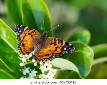 American Painted Lady butterfly (Vanessa virginiensis) feeding on white shrub flowers. Natural green background with copy space.