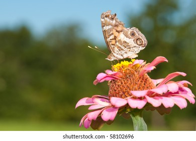 American Painted Lady on a Zinnia flower