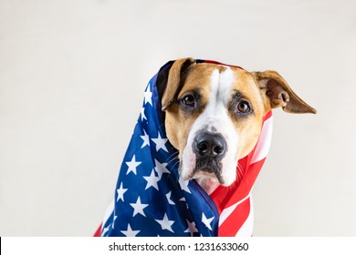 American patriotic dog portrait. Funny staffordshire terrier wrapped in USA flag in studio background