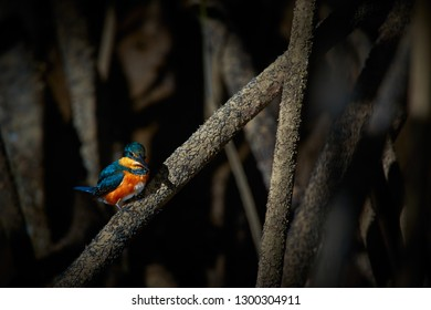 American pigmy kingfisher (Chloroceryle aenea) beautiful kingfisher. Sitting on a branch in the mangroves of Tarcoles river, Costa Rica.