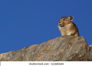 American Pika, ochotona princeps, on a rocky mountain top with a clear blue sky background