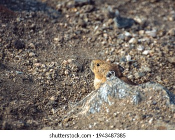 American pika, Ochotona princeps, Rocky Mountains, USA
