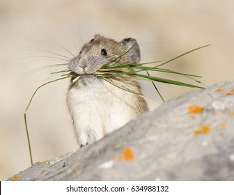 American Pika on gray rocks
