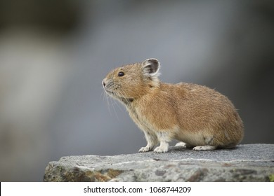American Pika in Yellowstone National Park - Pikas are an indicator species for climate change