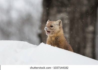 An American pine marten meanders through the snow in Algonquin Provincial Park, Ontario.