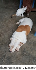 American pit bull asleep on the floor and the cat looking dog