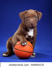 American Pit Bull Terrier Cute Puppy with ball on a blue background