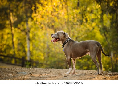 American Pit Bull Terrier dog outdoor portrait standing in nature forest