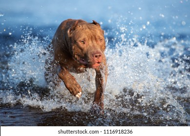 american pit bull terrier dog jumping in the water
