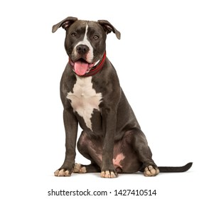 American Pit Bull Terrier dog sitting against white background