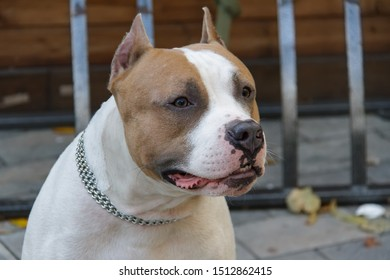 The American Pit Bull Terrier is the most dangerous breed of dog in the world. Fighting Bull Terrier.
