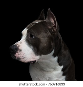 American pit bull terrier on a black background in studio closeup- isolate.