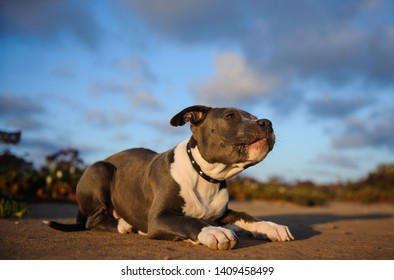 American Pit Bull Terrier puppy portrait lying down with blue sky and clouds in the background