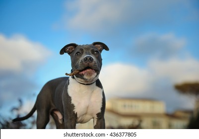 American Pit Bull Terrier puppy playing with stick in front of house and blue sky with clouds